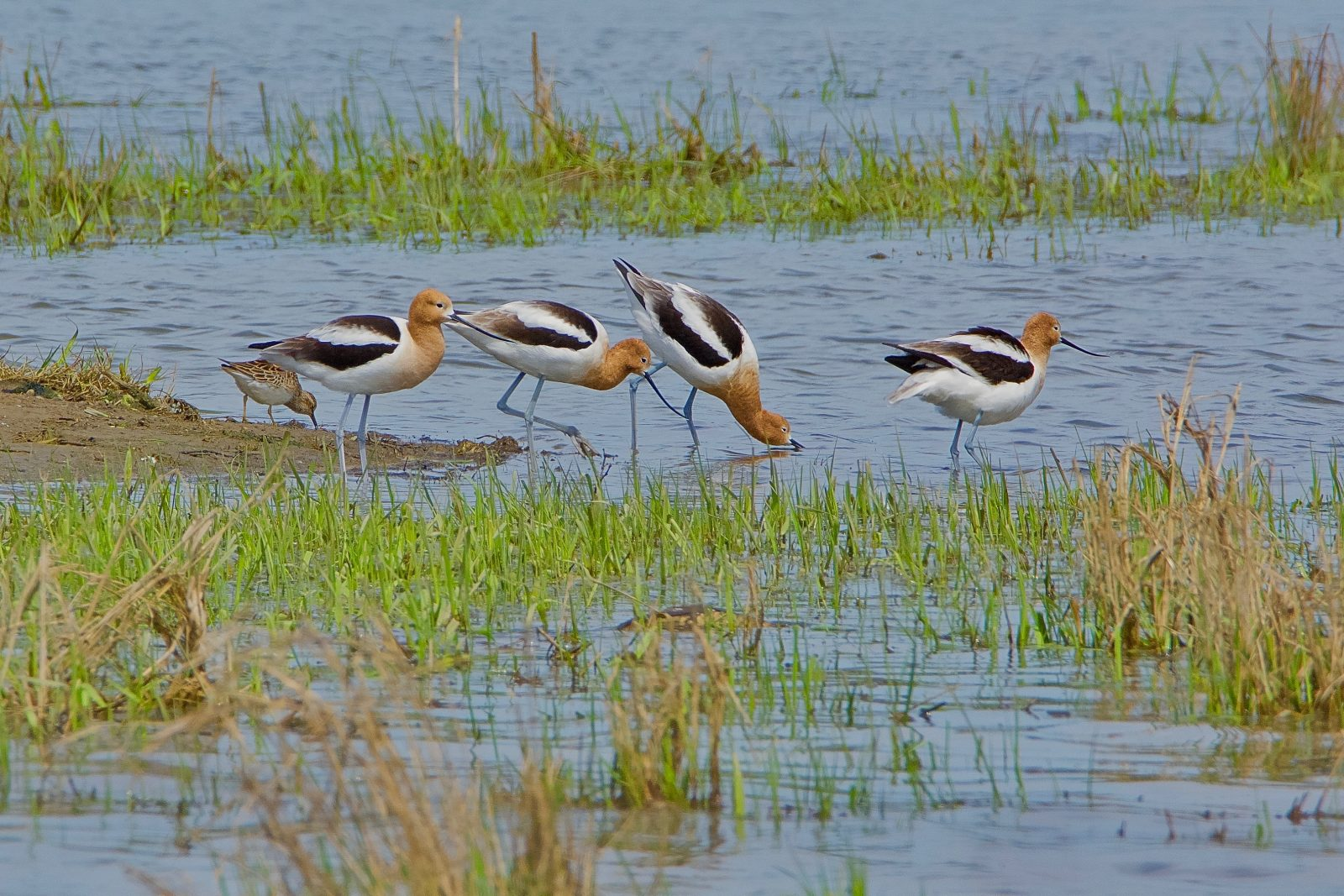 American Avocets, A short stop during migration.