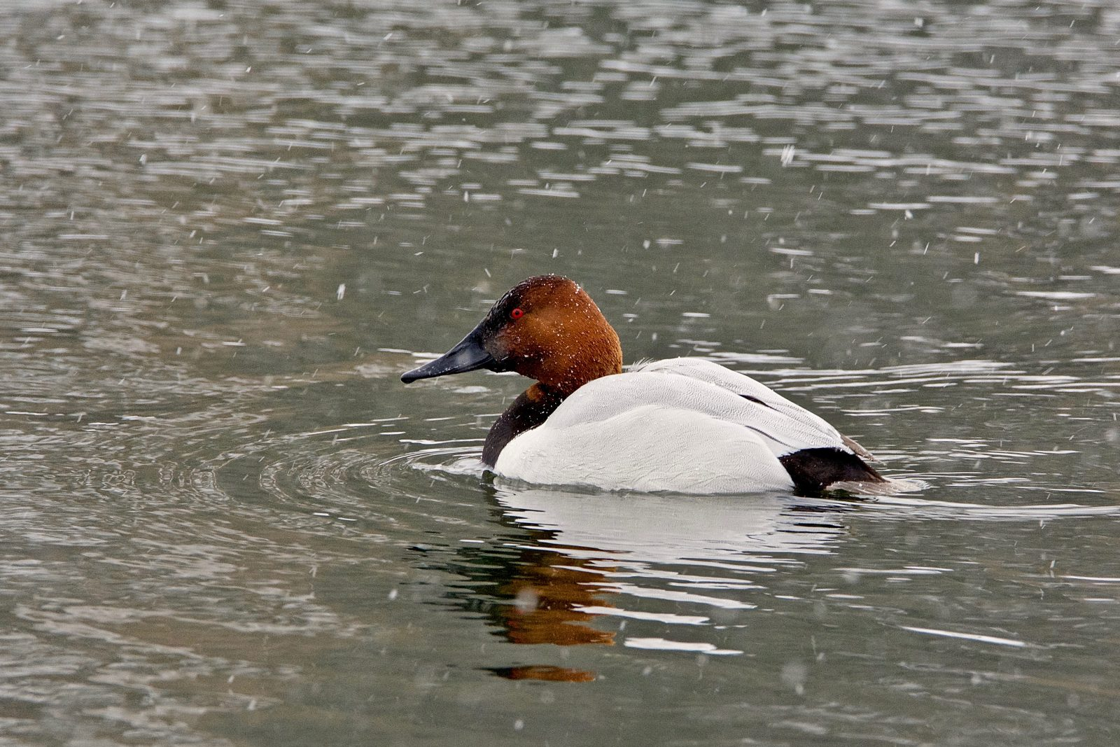 Drake Canvasback in Snowstorm.