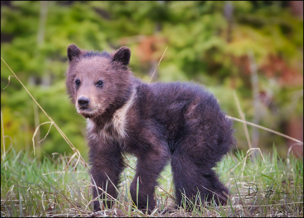 Grizzly Coy