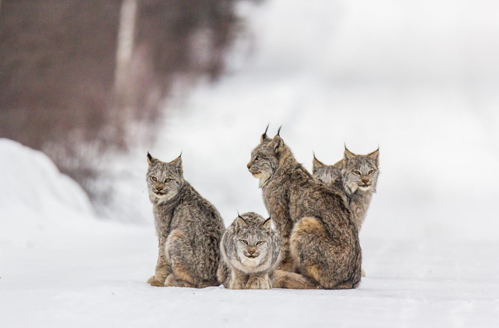 Lynx Family of Five
