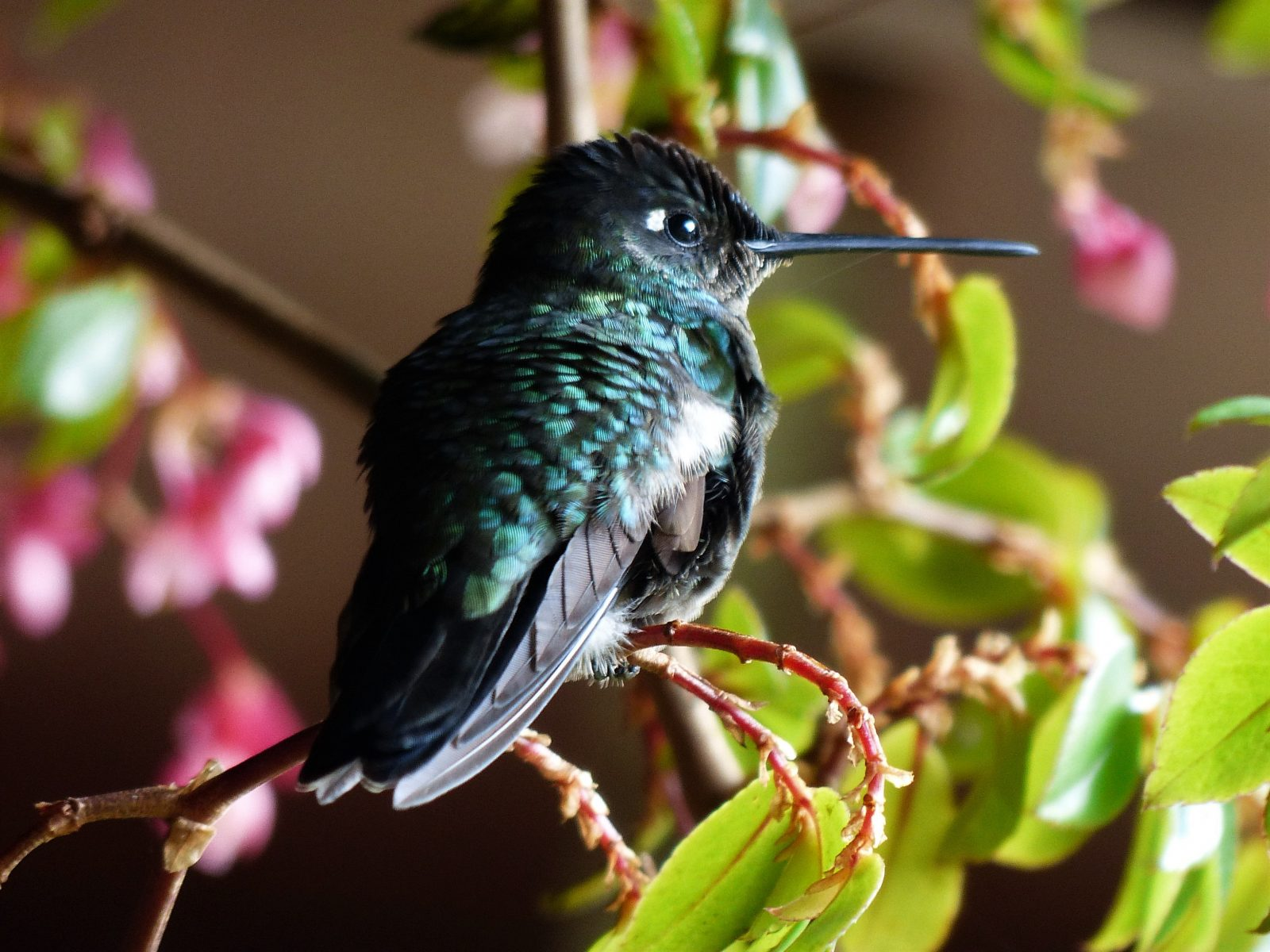 Perched Hummingbird (1)