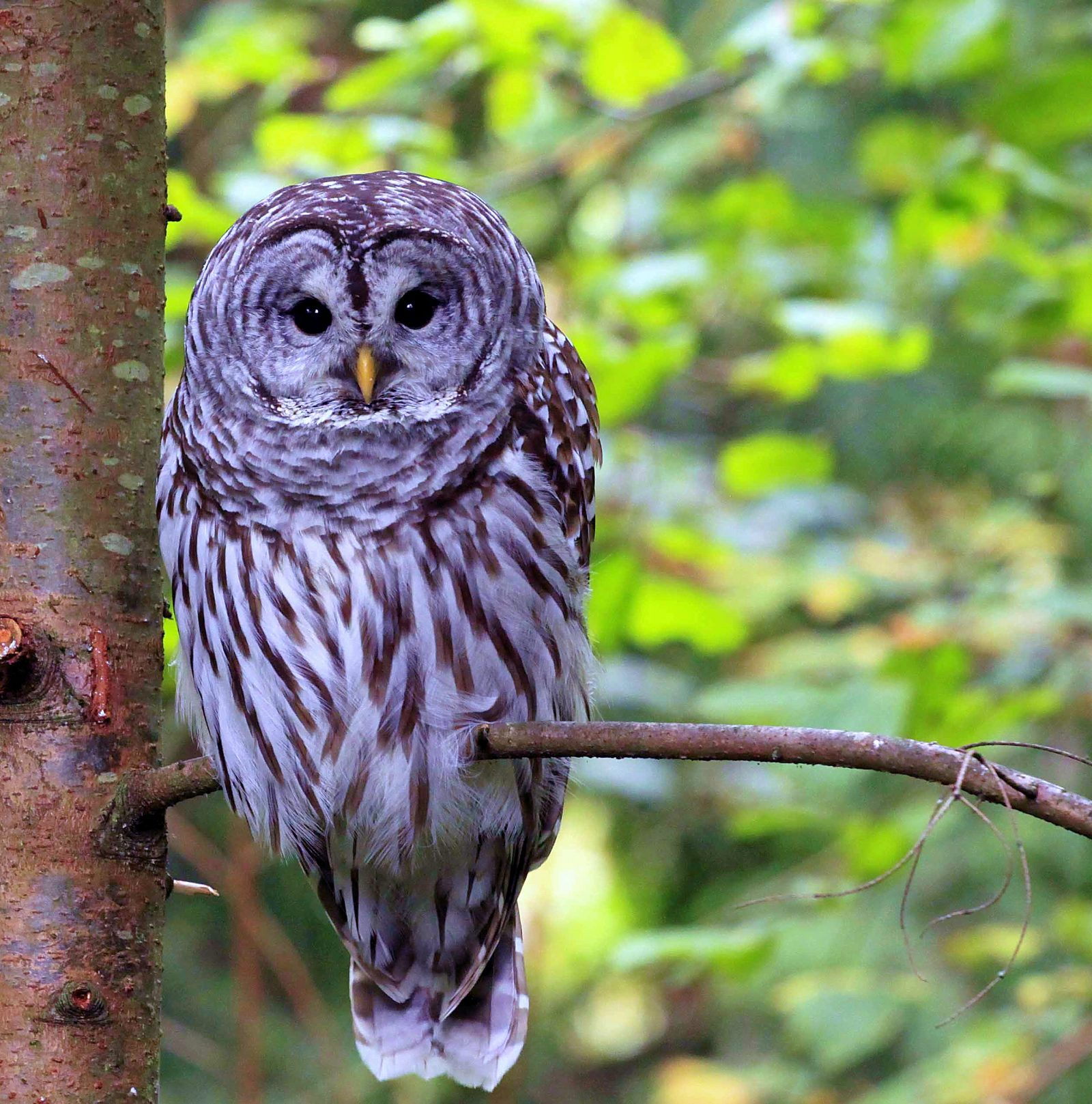 Bob, our resident male Barred owl