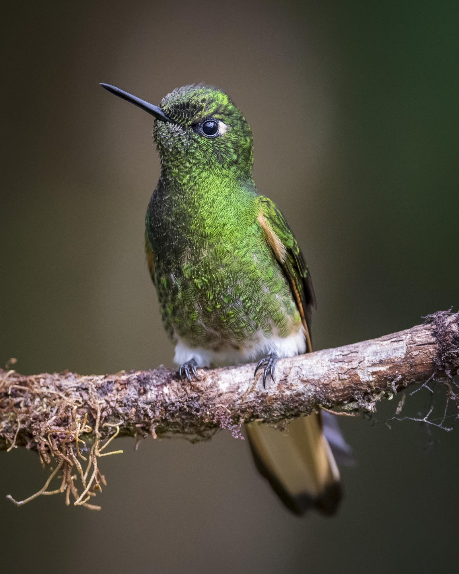 Jewel of Colombia: Buff-tailed Coronet