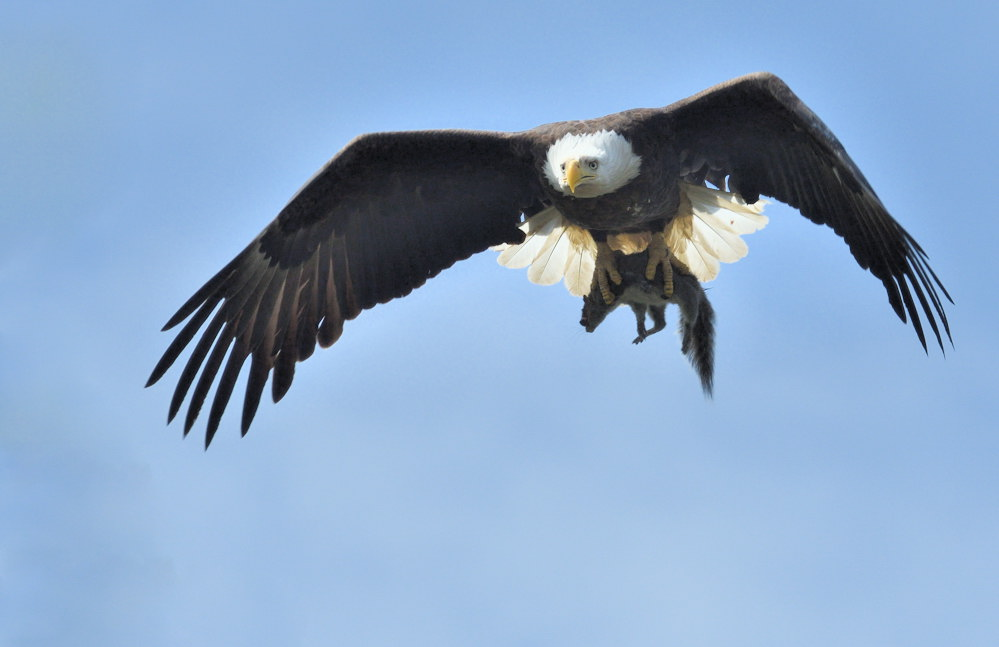 An eagle with a squirrel