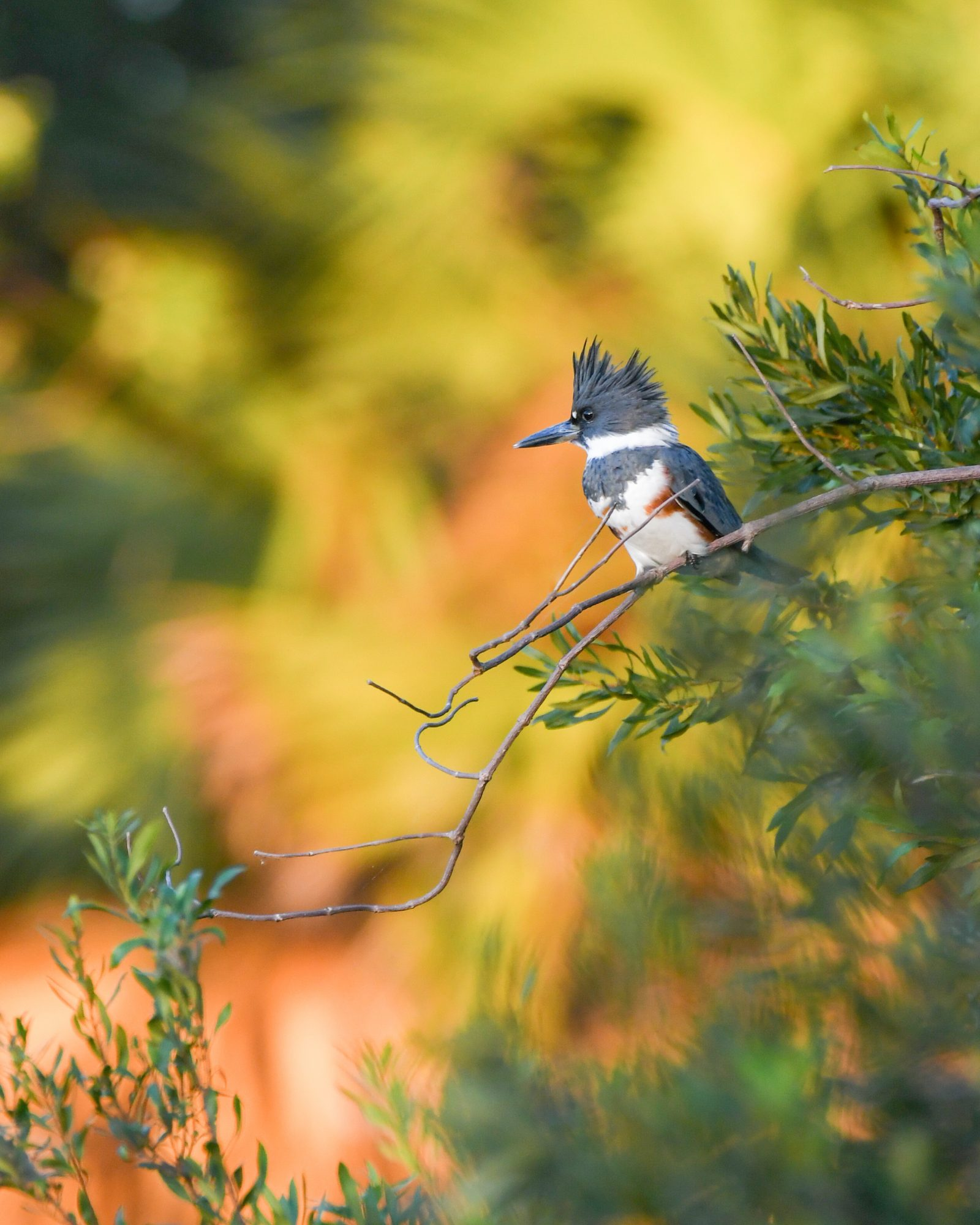 A Belted Kingfisher In Colors