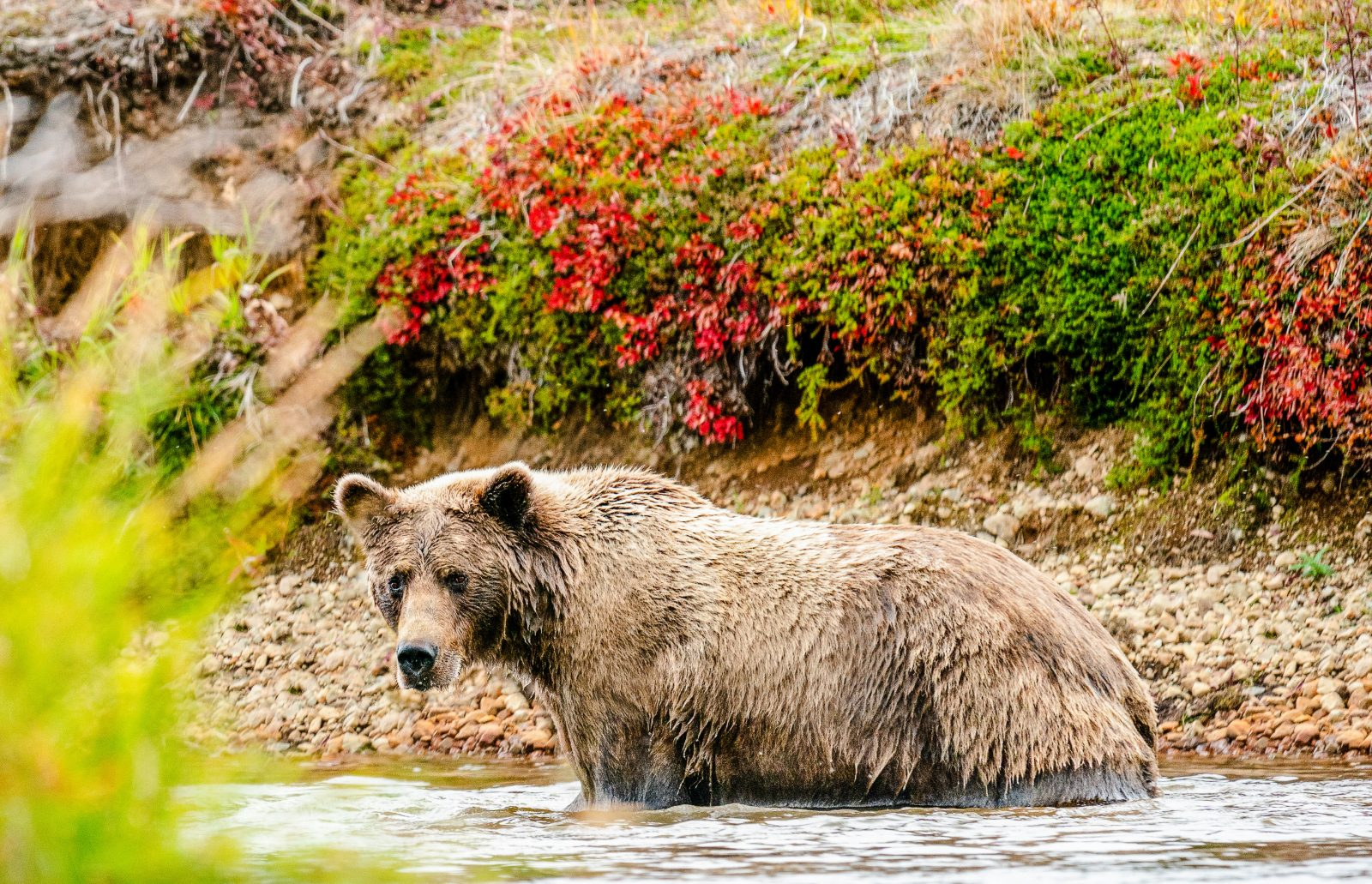 Mama Grizzly Goin' Fishing