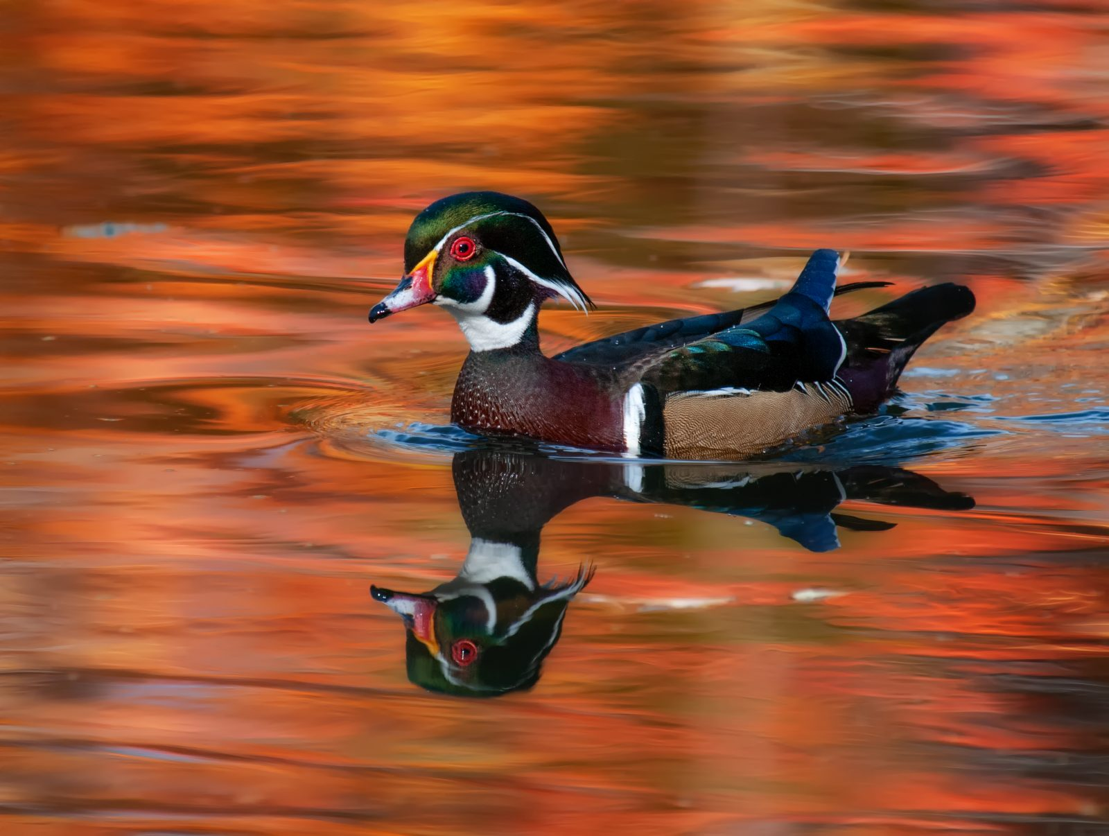 Wood Duck in the glow of fall