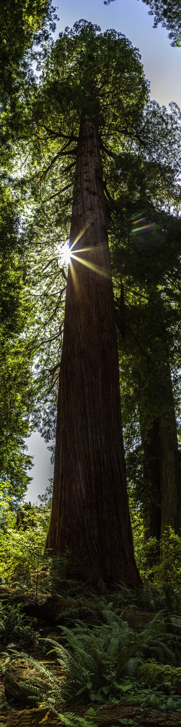 Magnificent Redwood
