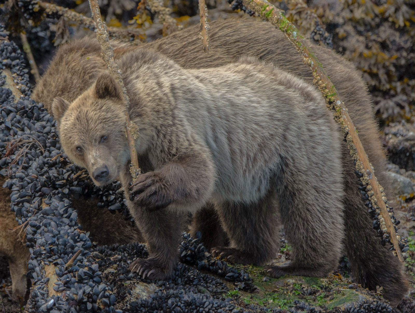 Grizzly Bear Cub Feasting on Mussels.