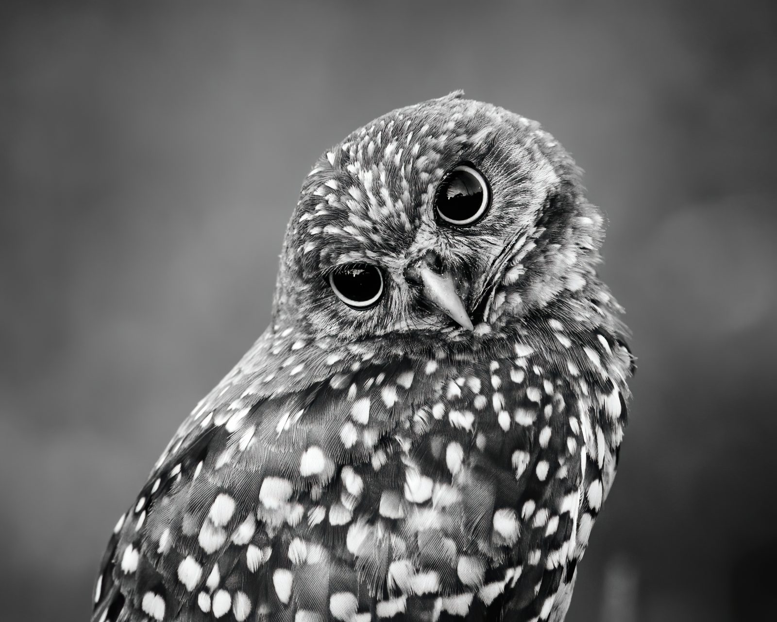 Portrait of a Burrowing Owl