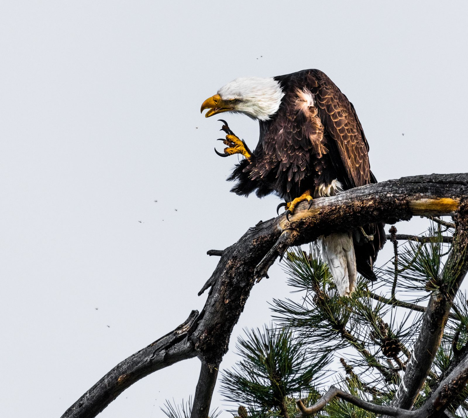 Eagle Fighting With Mosquitos