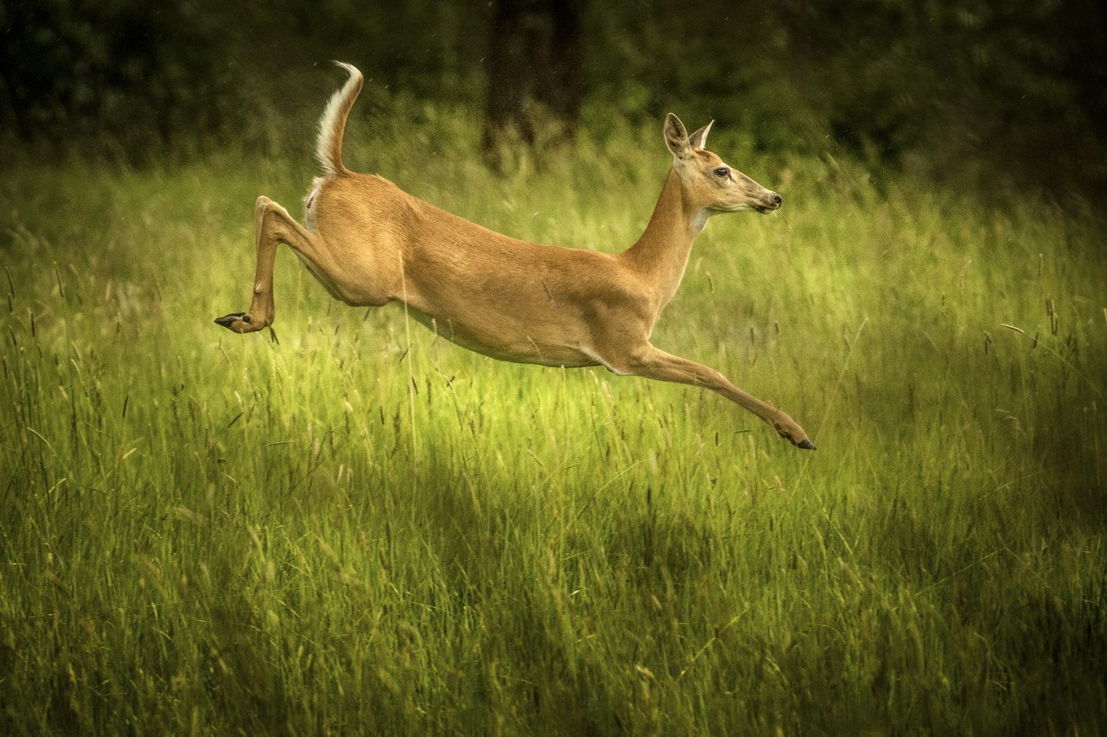 Flight of the White Tail