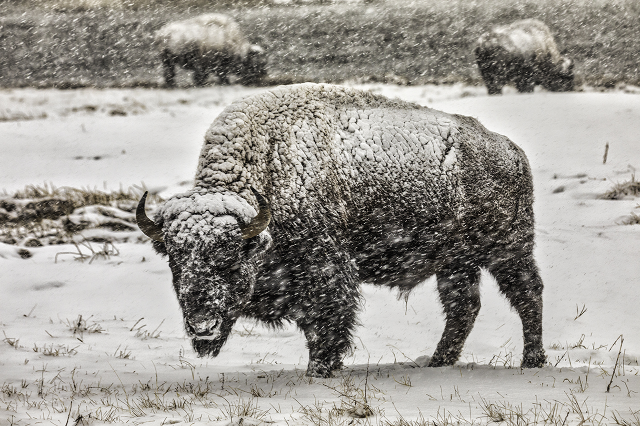 YELLOWSTONE BISON IN STORM