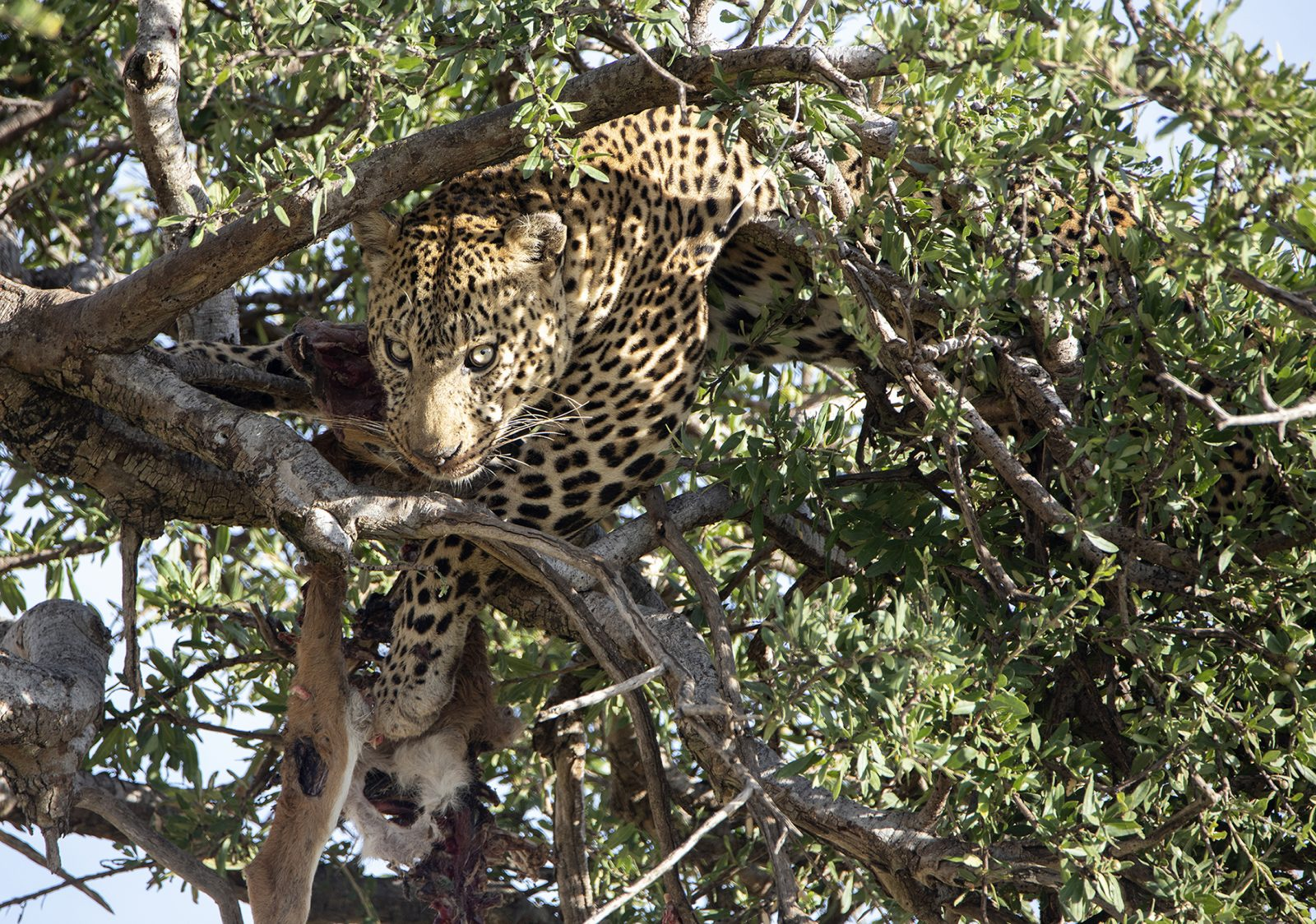 Looming Leopard