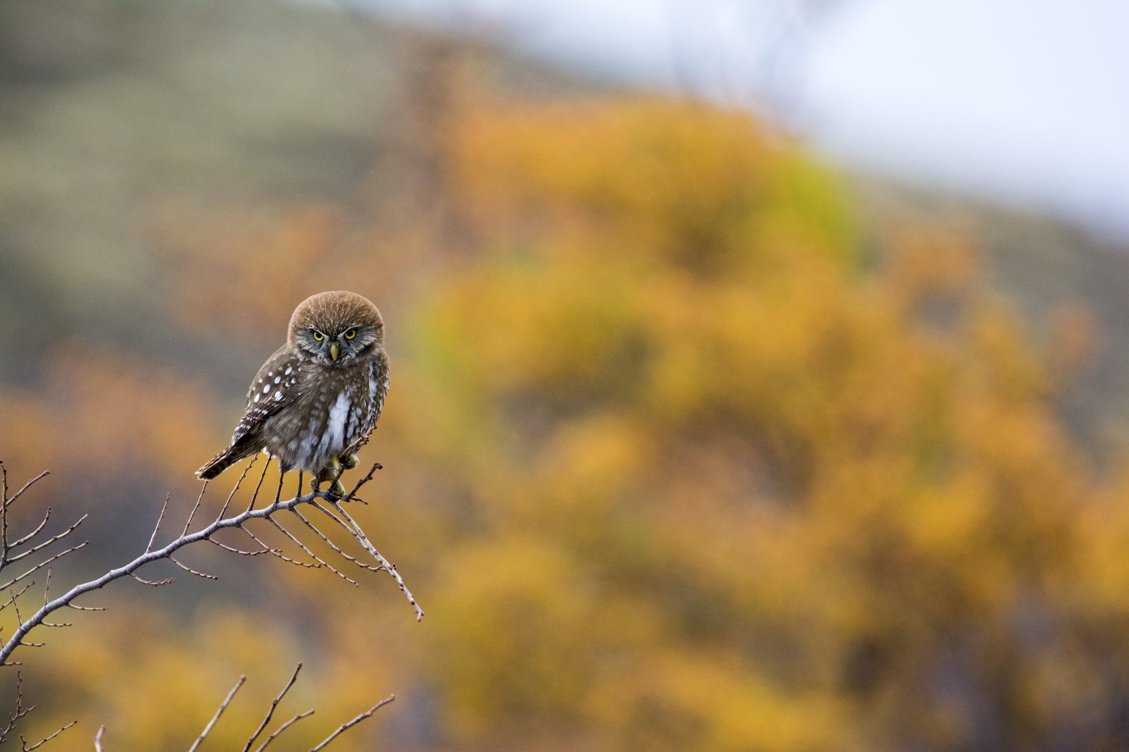 Pygmy Owl in Autumn Colors