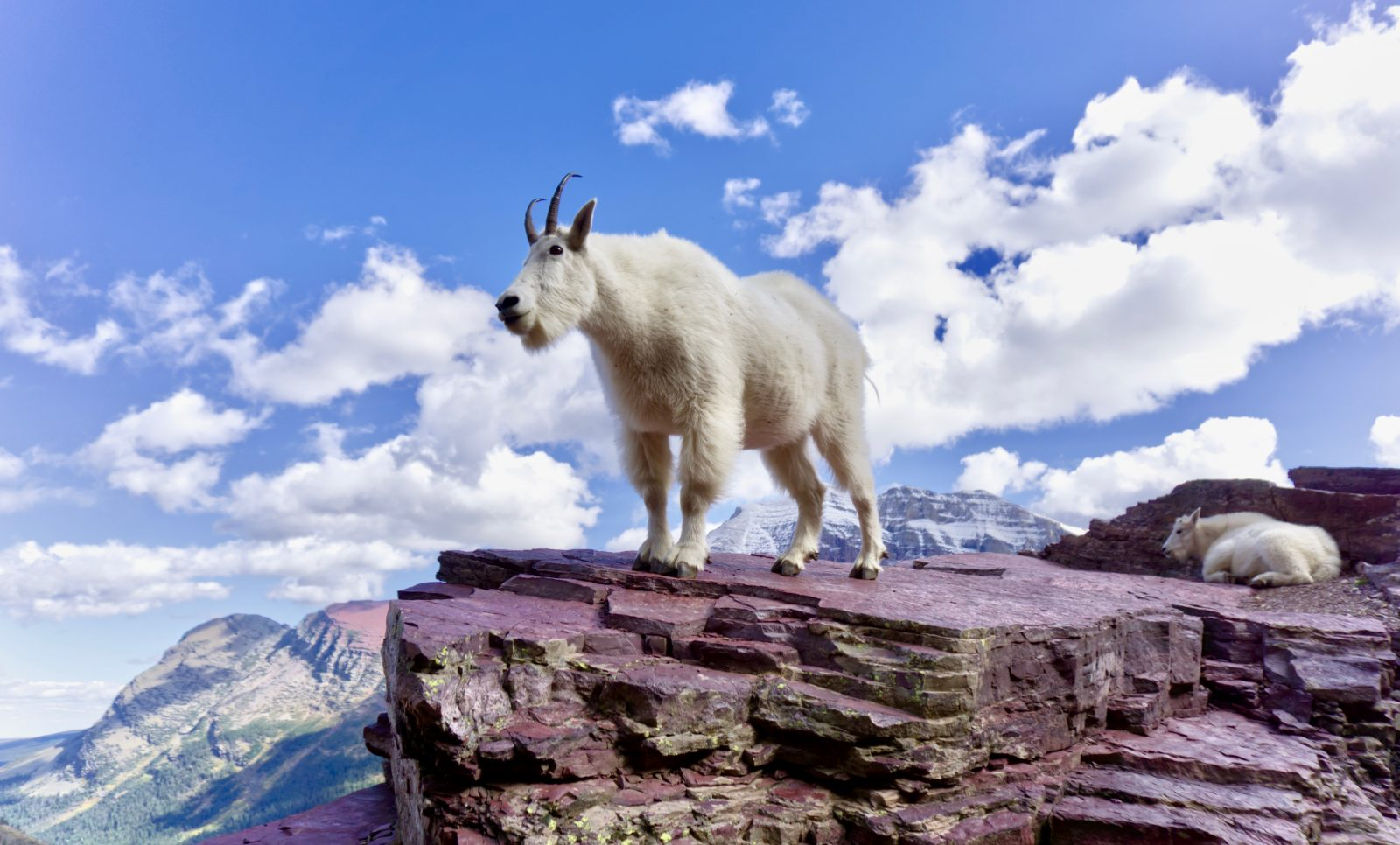 The Goats of Glacier