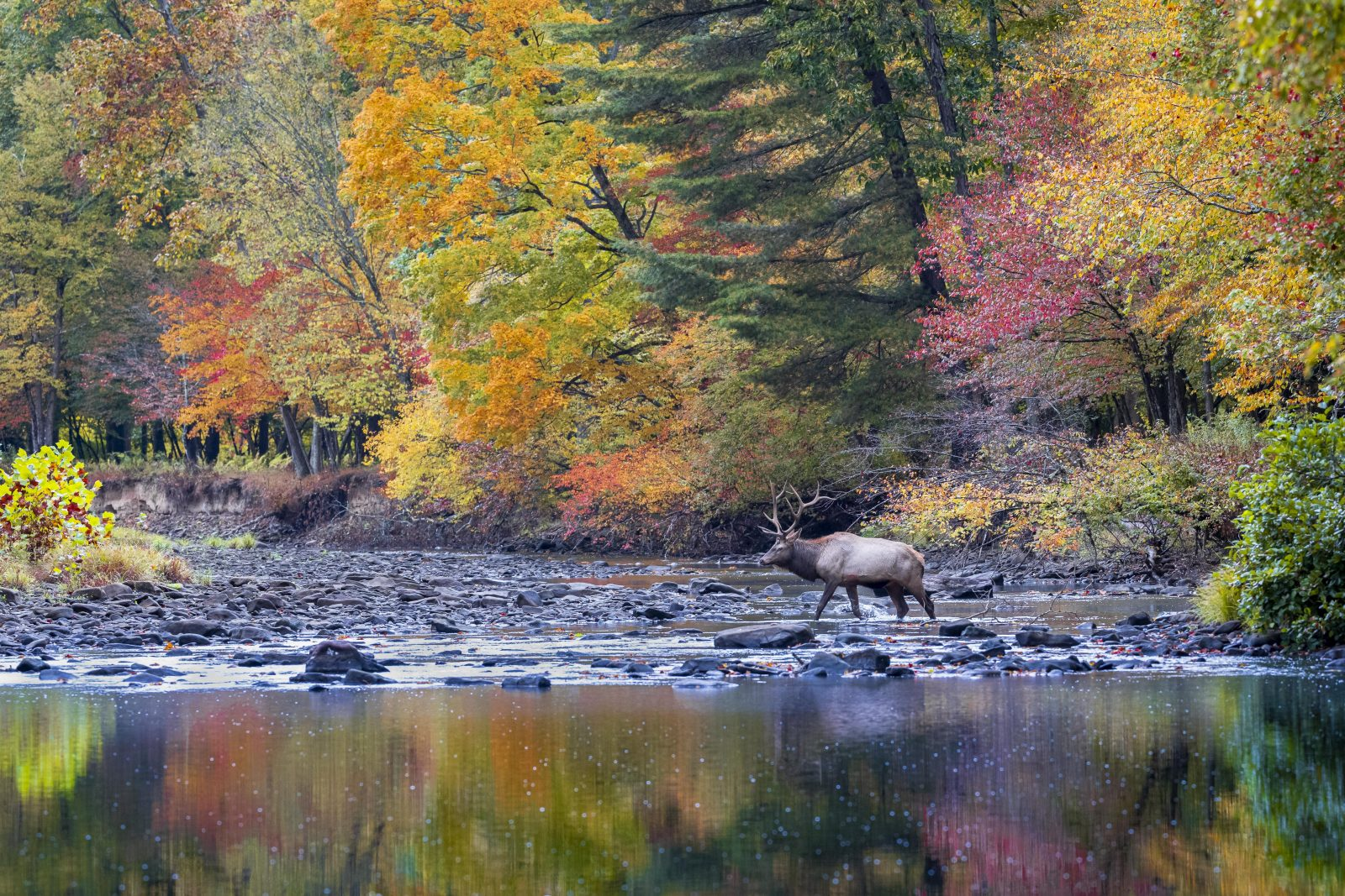 Elk Crossing Stream with Fall Colors
