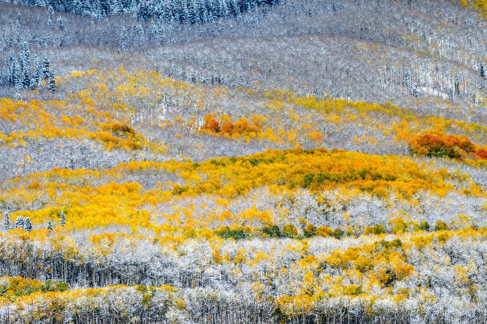 Aspen leaves cry in the early first snow