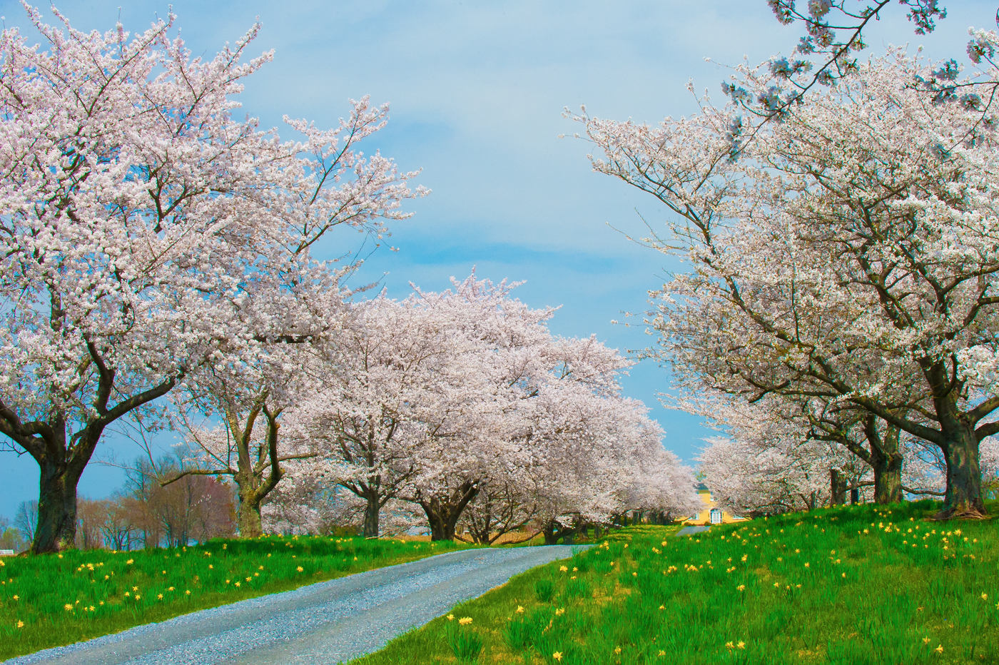 April Cherry Blossoms in Maryland