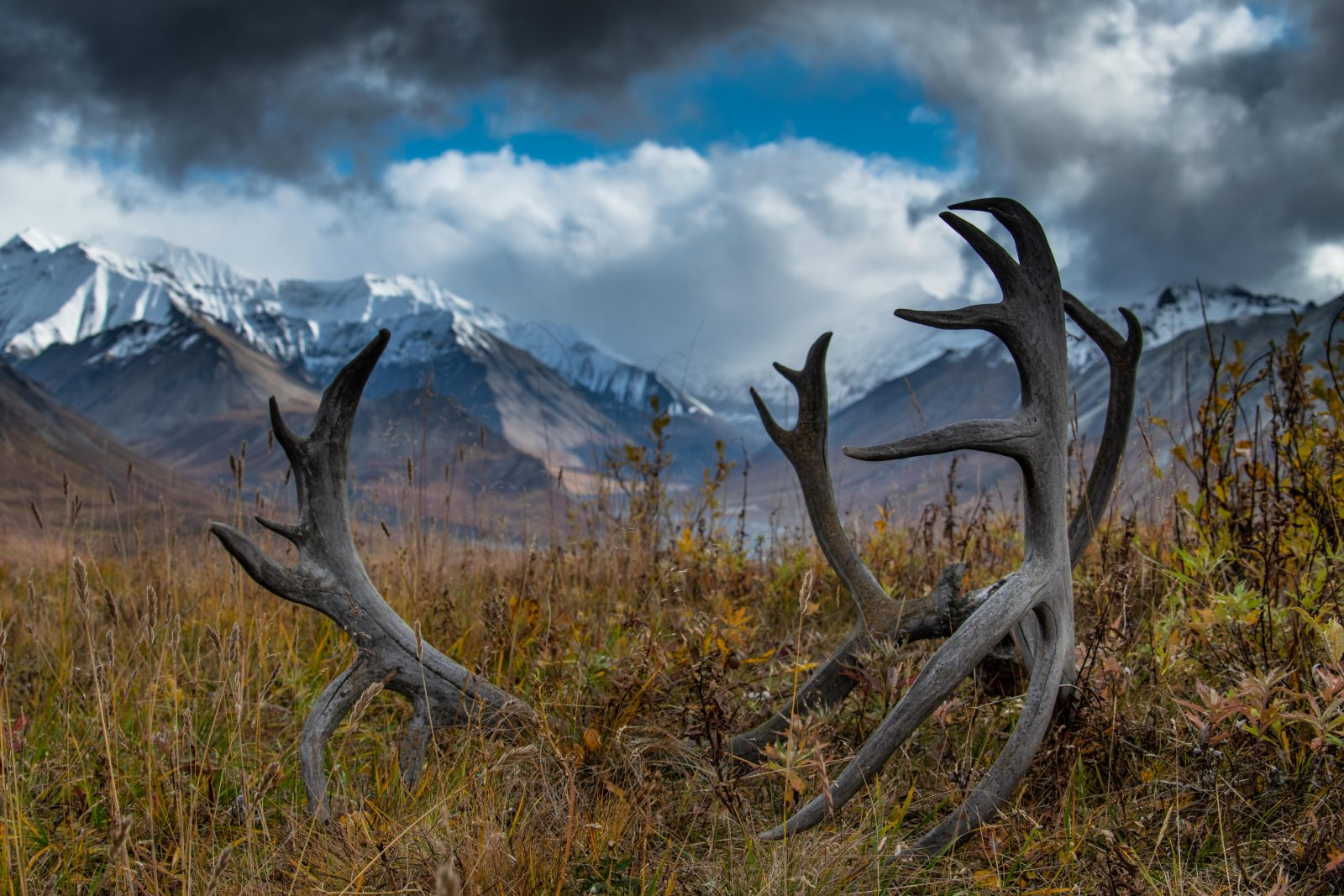 Denali – Land of the Caribou