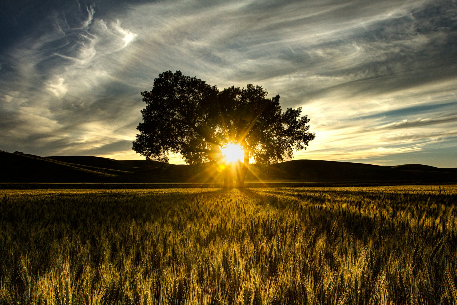 Wheat meadow and lone tree at sunset –  The Palouse, Washington
