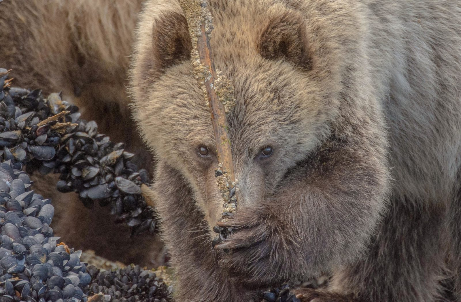 Grizzly Bears love Mussels.