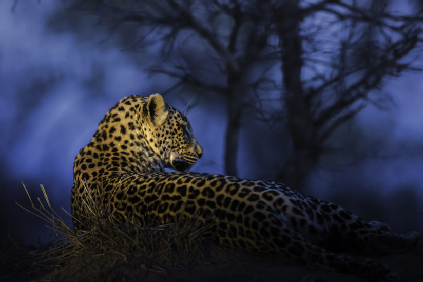 Blue Hour Leopard