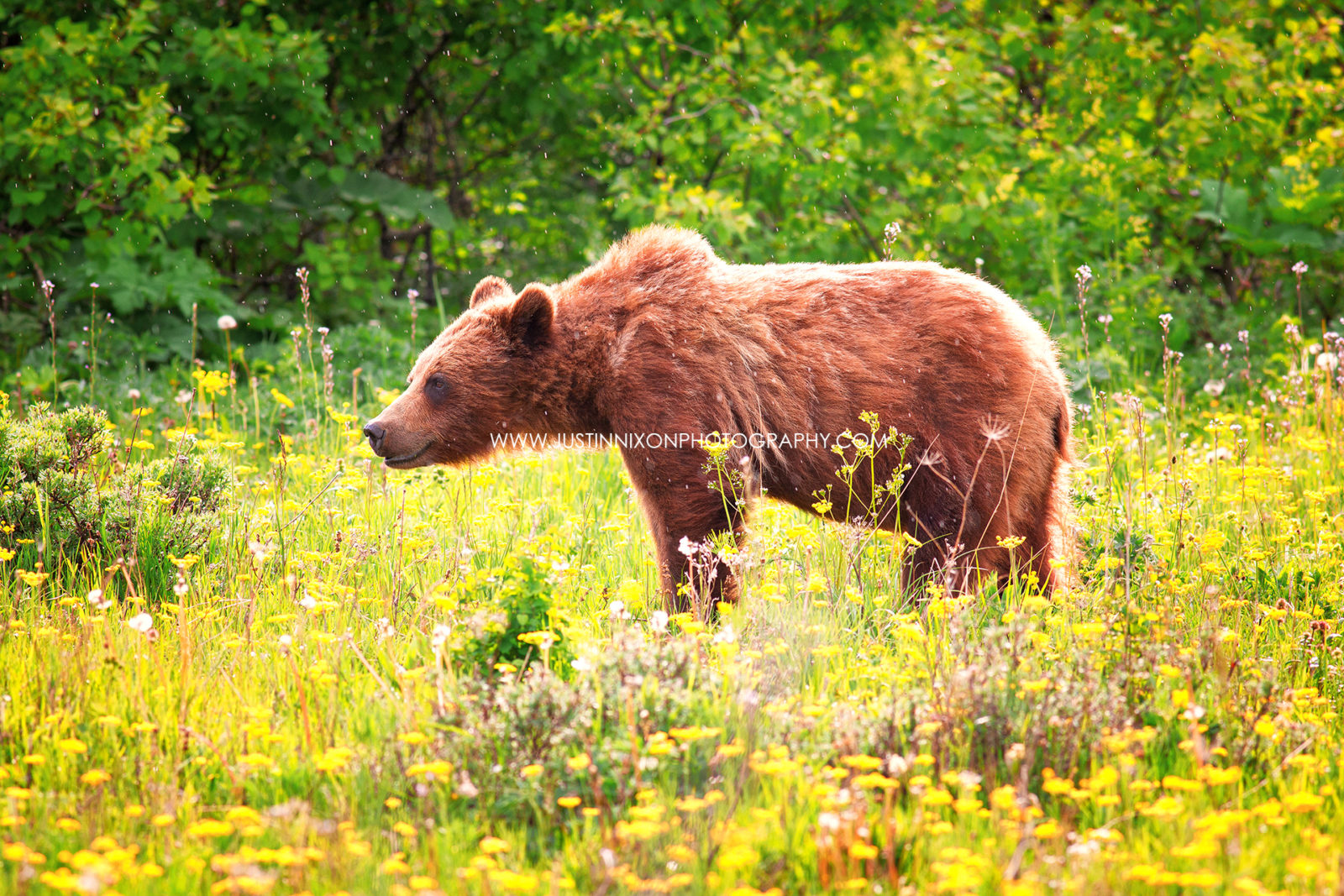 Grizzly in the Wildflowers