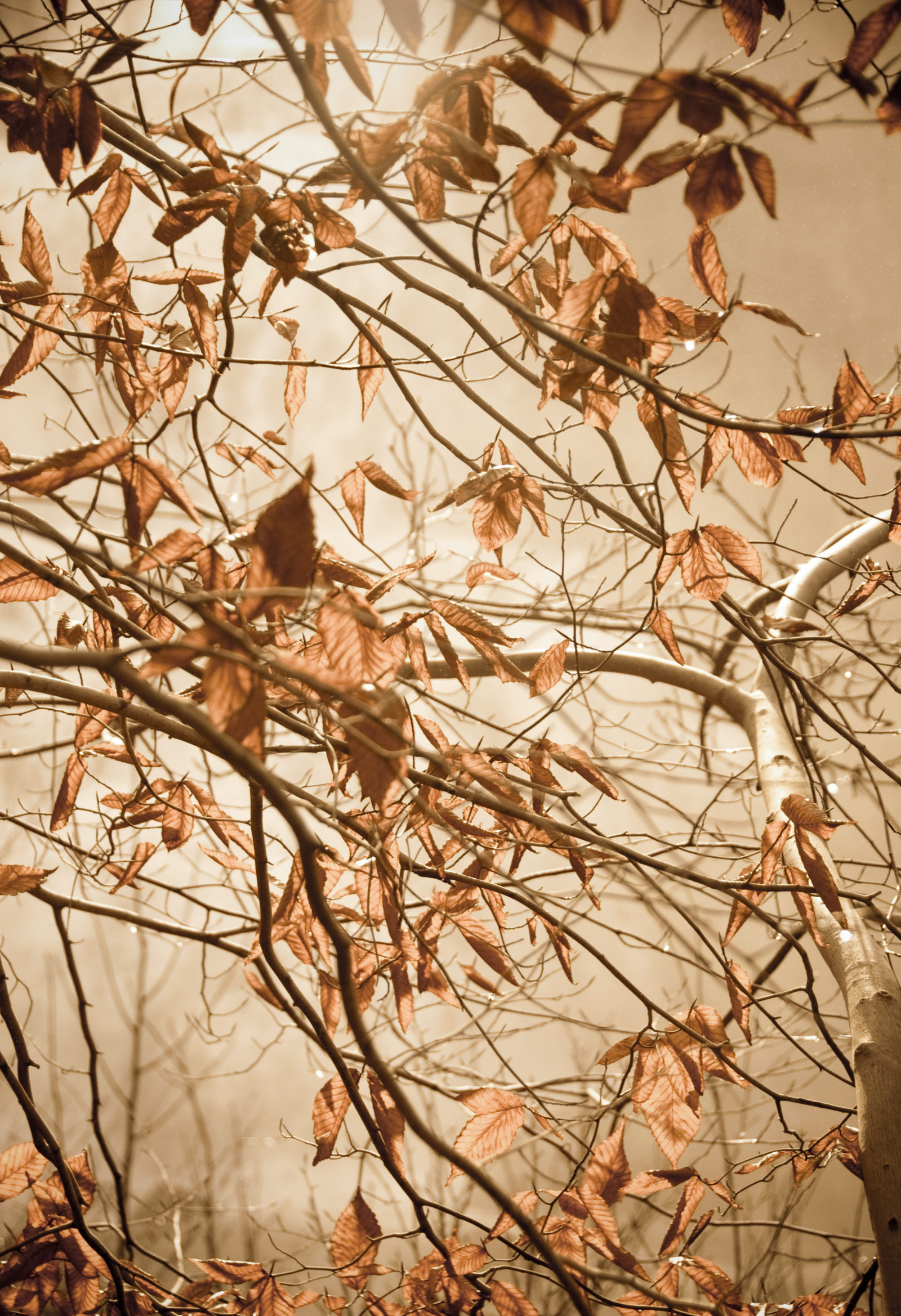 Aged Winter Leaves