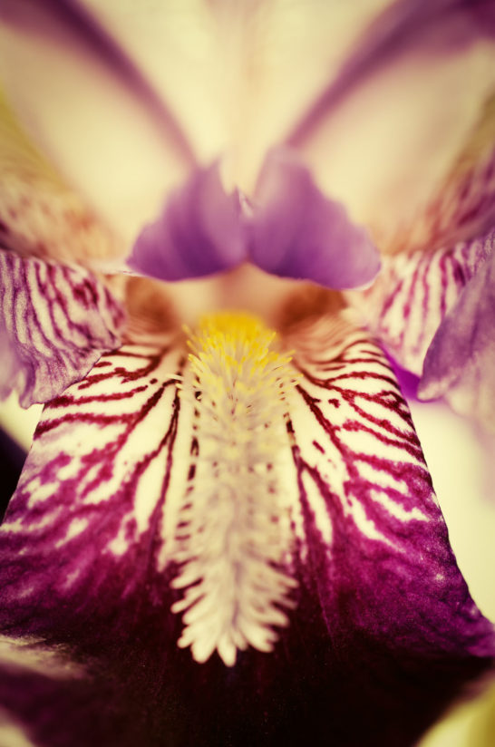 Antiqued Iris Nature Photo