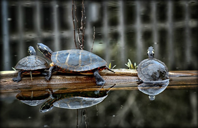 Painted Turtles on a log