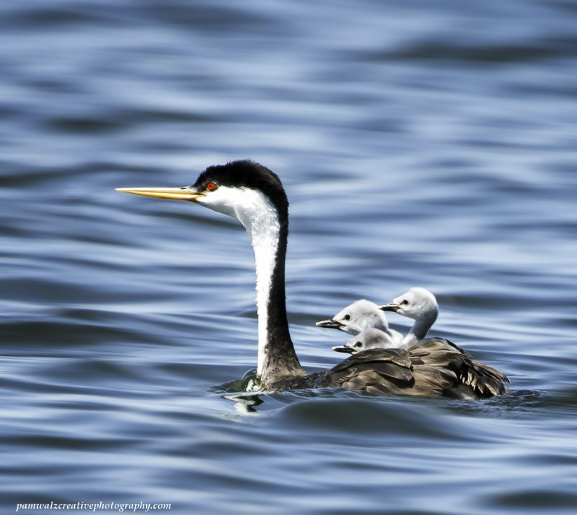 Western Grebe chicks