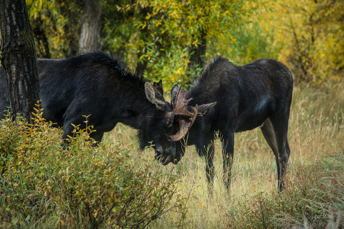 Young sparring moose