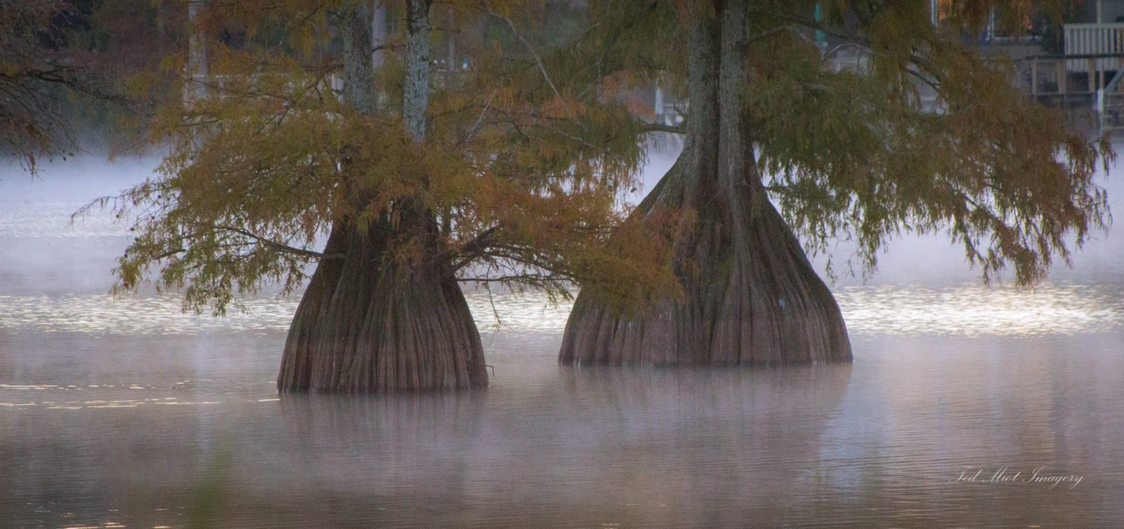 Foggy Cypress