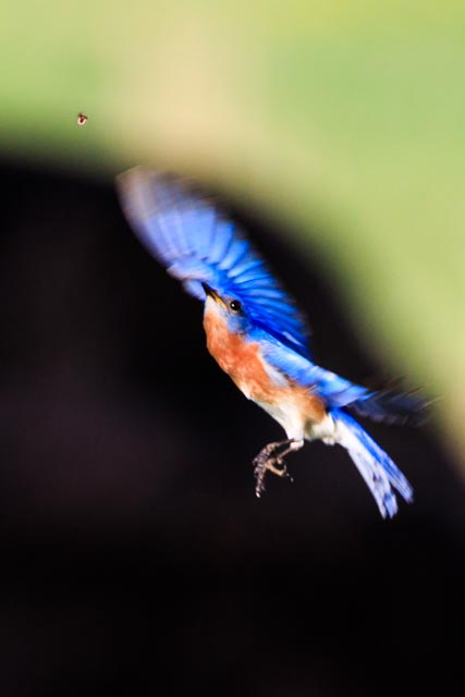 Eastern Blue Bird Flight