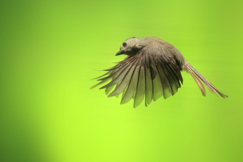 Tufted Titmouse Inflight