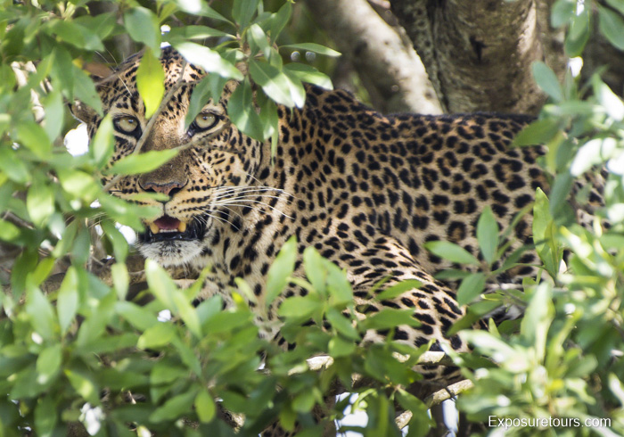 I see you – Leopard in Tree