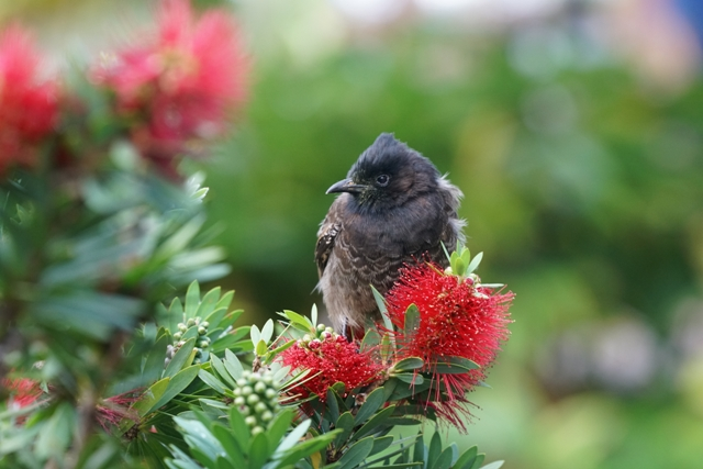 Red-Vented Bulbul Perched in Hawaiian Ohia Tree