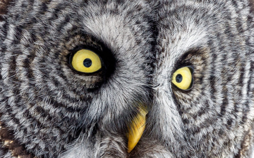 Great Gray Owl – face detail
