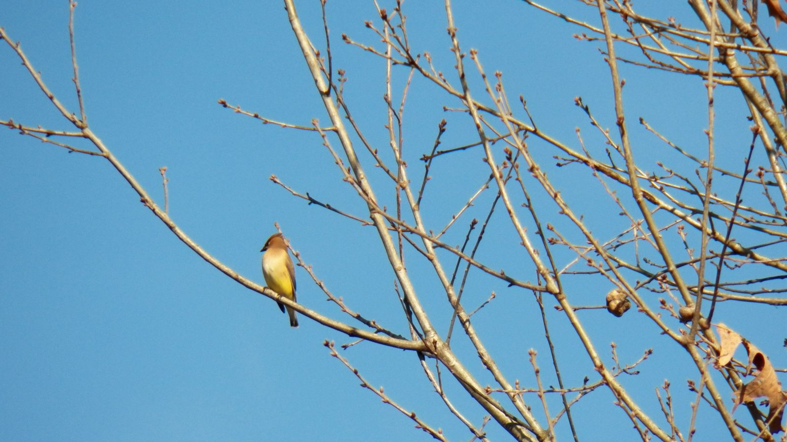 The Wary Waxwing
