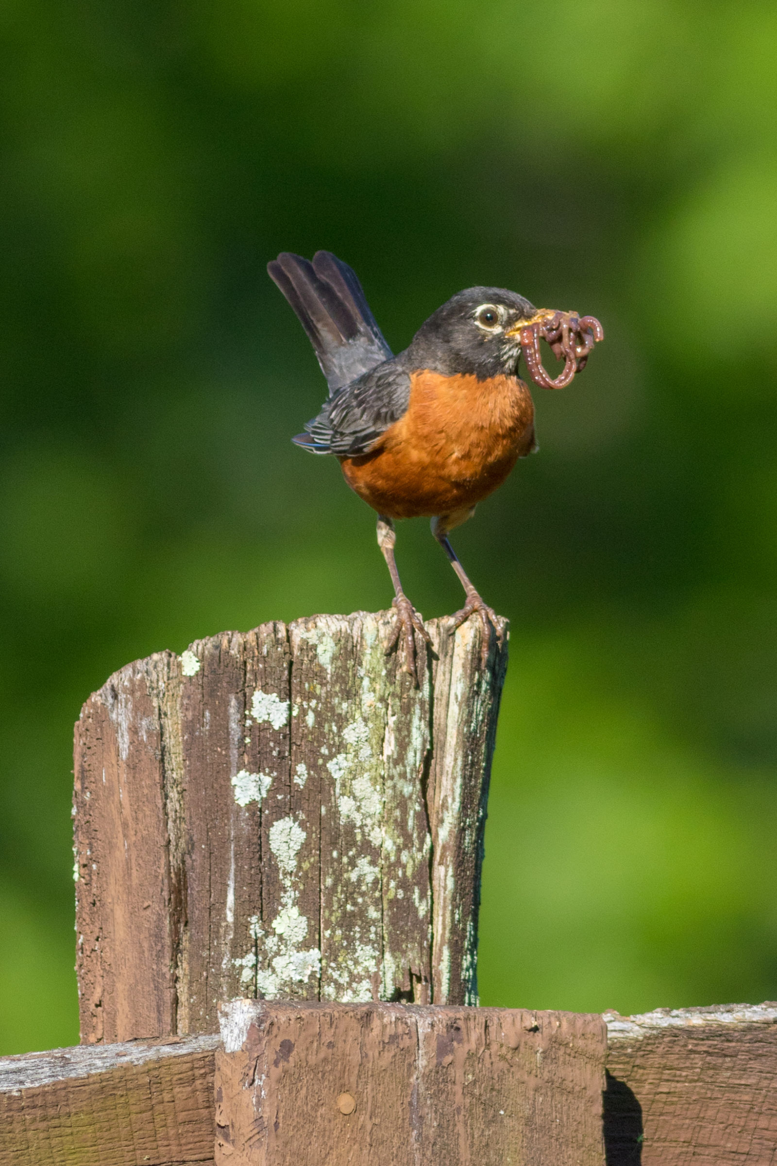 American Robin With Lunch