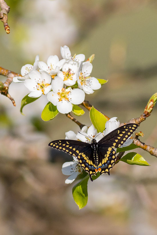 Black Swallow-tailed Butterfly