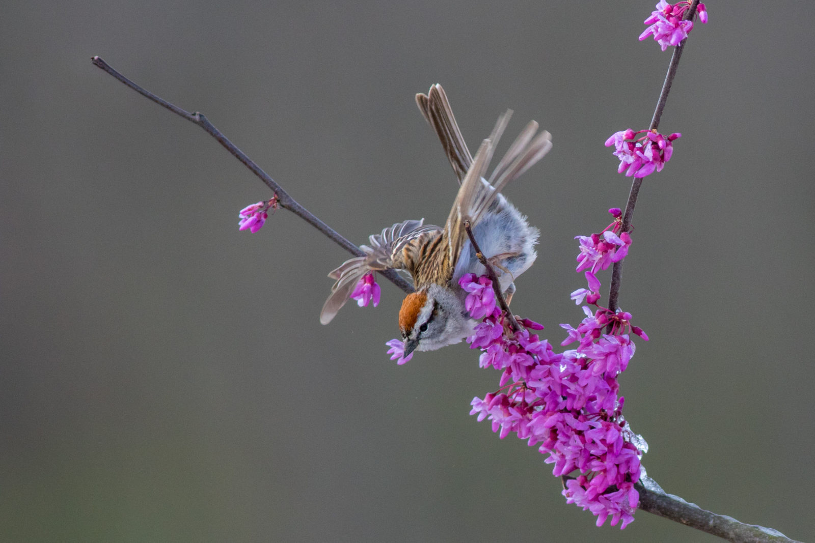 Chipping Sparrow Perched In A Redbud Tree