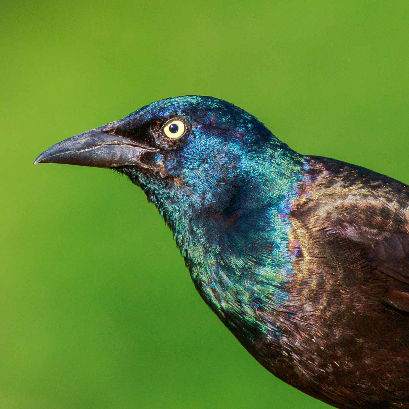 Portrait Of A Common Grackle