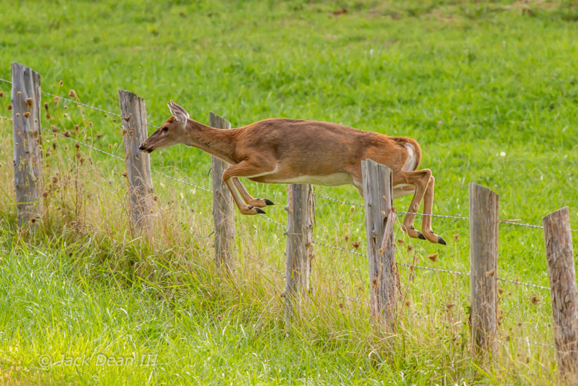 White-tailed Deer Jumping Fence