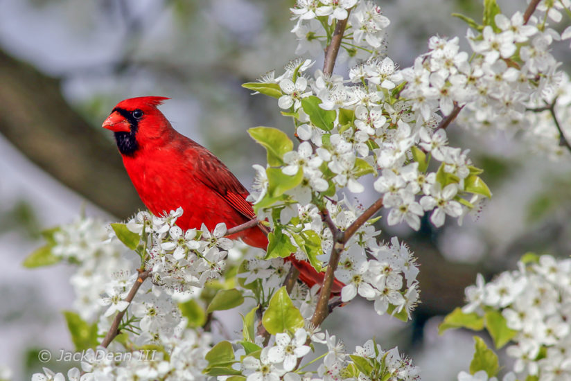 Northern Cardinal In Spring Blooms