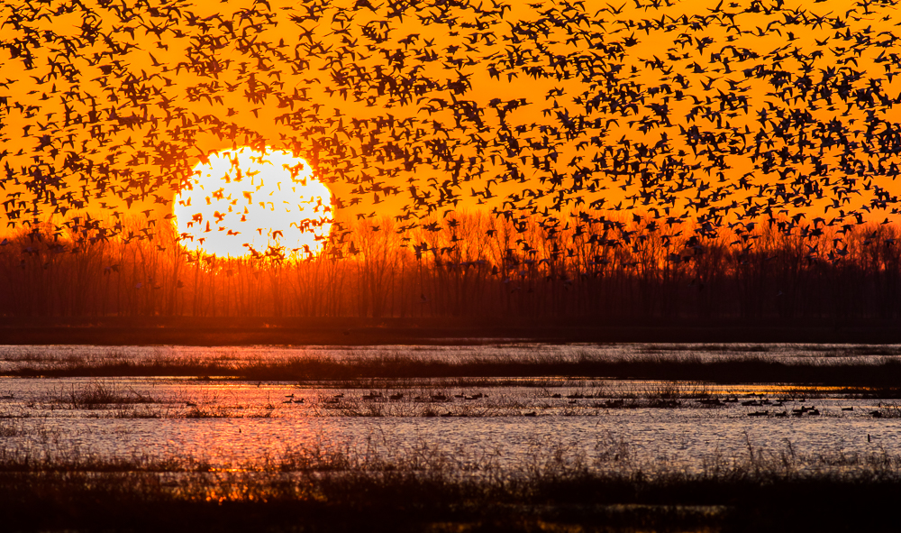 Snow Geese Migration At Sunrise
