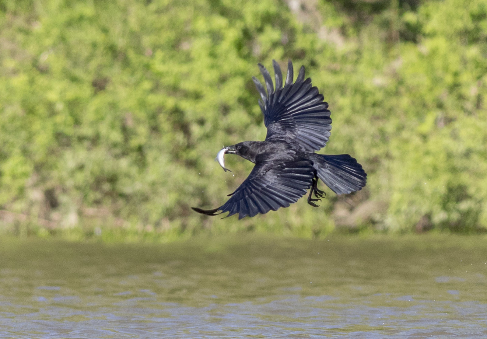 Crow Catching A Fish