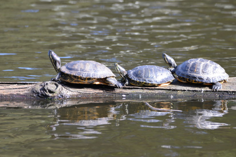 Turtles reflecting.