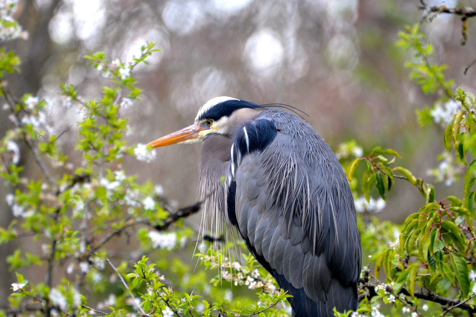 Great Blue Heron in the blossoms.